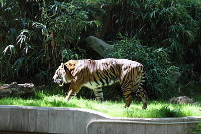 National Zoo - Tiger - 011329 Poster by DC Photographer