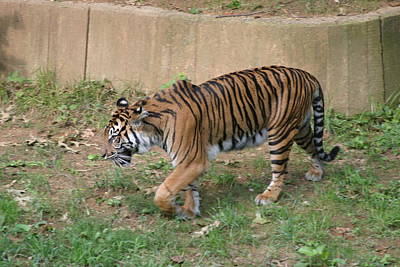 National Zoo - Tiger - 121214 Poster by DC Photographer