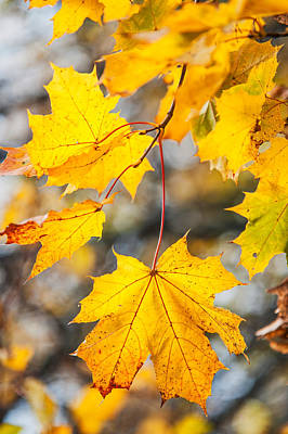 Natural Patchwork. Golden Mable Leaves Poster by Jenny Rainbow
