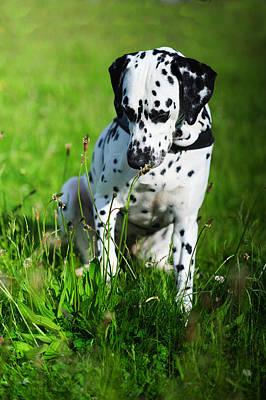 Nature Explorer. Kokkie. Dalmation Dog Poster by Jenny Rainbow