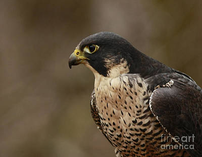 Natures Grace Peregrine Falcon Poster by Inspired Nature Photography Fine Art Photography