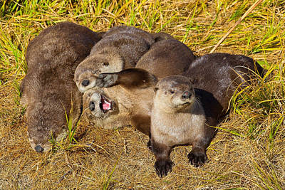 Poster featuring the photograph Naughty Otters by Aaron Whittemore