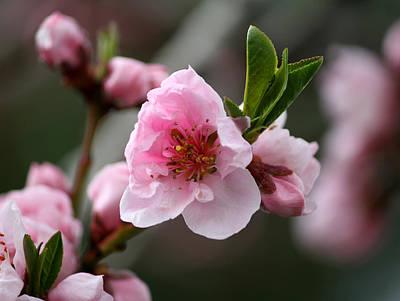 Nectarine Blossom Poster