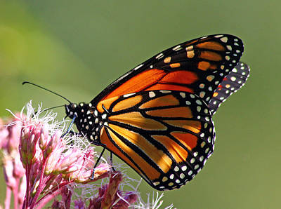 Nectaring Monarch Butterfly Poster