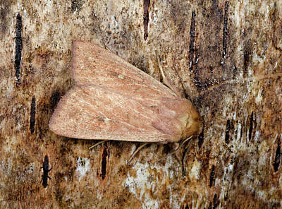 Neglected Rustic Moth Poster
