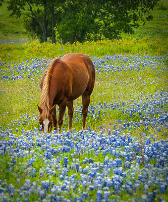 Nelly Grazing Among The Bluebonnets Poster by Dee Dee  Whittle