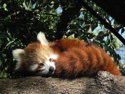 Nepalese Red Panda Poster