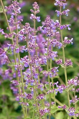 Nepeta 'six Hills Giant' Flowers Poster