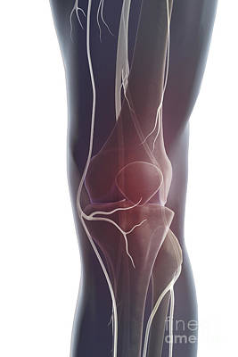 Nerves Of The Knee Poster