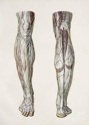 Nerves Of The Lower Leg, 1844 Artwork Poster by Spl