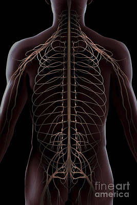 Nerves Of The Trunk Poster by Science Picture Co