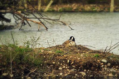 Nesting Goose Poster by Belinda Greb