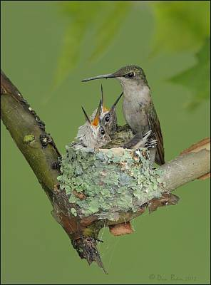 Nesting Hummingbird Family Poster by Daniel Behm