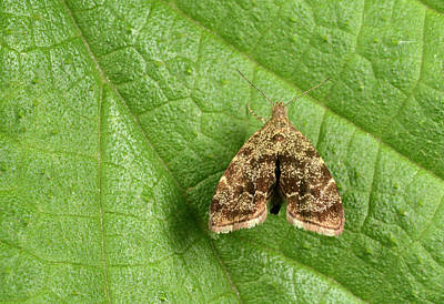 Nettle-tap Moth Poster by Nigel Downer