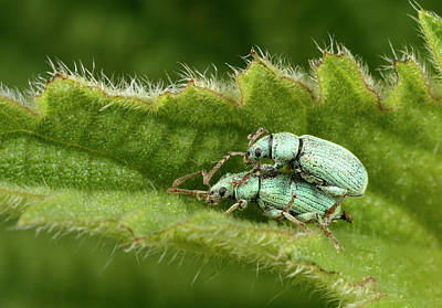 Nettle Weevils Poster