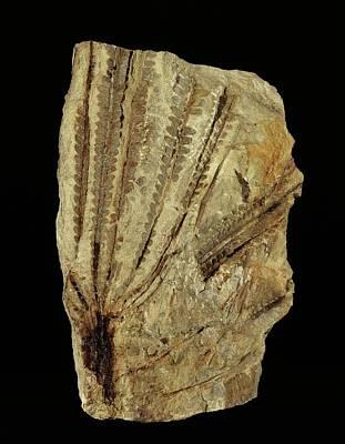 Neuropteridium Tree Fern Fossil Poster