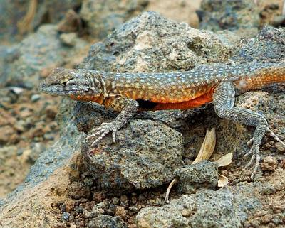 Poster featuring the photograph Nevada Side-blotched Lizard by Heidi Manly