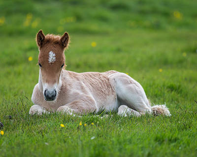 New Born Foal, Iceland Purebred Poster by Panoramic Images