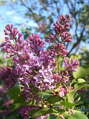 Purple Lilac Poster by Eunice Miller