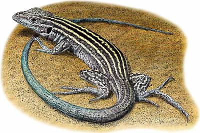 New Mexico Whiptail Lizard Poster by Roger Hall