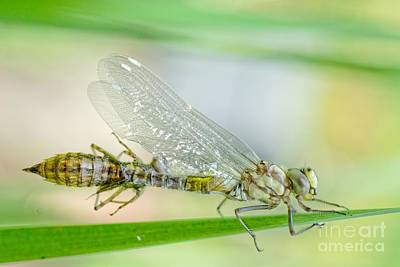 Newborn Blue Hawker Dragonfly Poster by Martin Capek