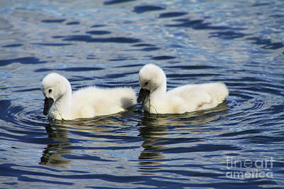Poster featuring the photograph Newborn Mute Swans by Alyce Taylor
