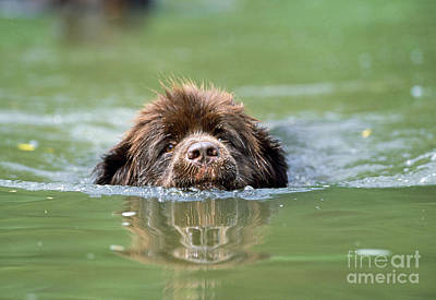 Newfoundland Dog, Swimming In River Poster by John Daniels