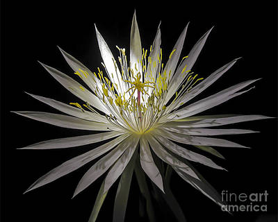Night-blooming Cereus 1 Poster