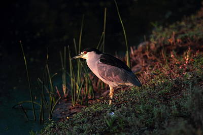 Poster featuring the photograph Night Heron  by Duncan Selby
