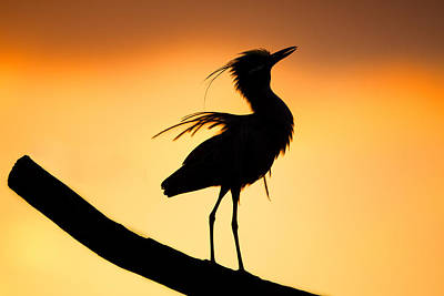 Night Heron Silhouette 2 Poster