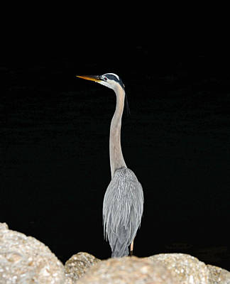 Poster featuring the photograph Night Of The Blue Heron 3 by Anthony Baatz
