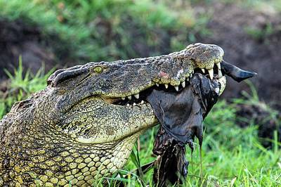 Nile Crocodile Feeding On A Carcass Poster by Peter Chadwick