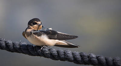 Barn Swallow On Rope II Poster by Patti Deters
