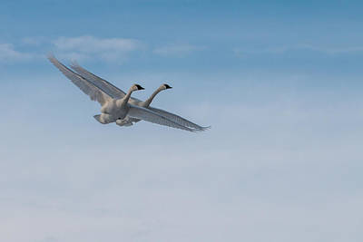 Trumpeter Swans Tandem Flight Poster by Patti Deters
