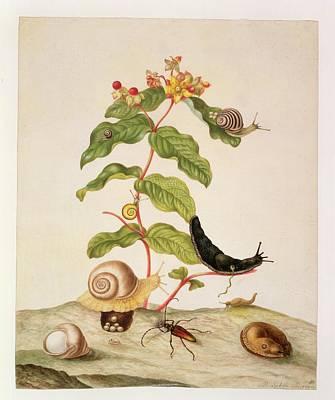 Hypericum Baxiforum Poster by Maria Sibylla Graff Merian