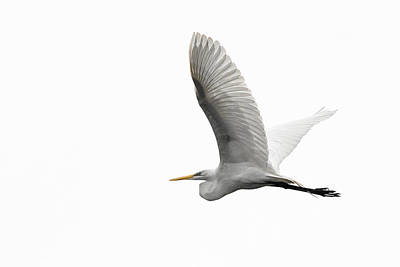 North American Great Egret Poster