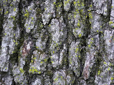 North-side Oak Bark Poster