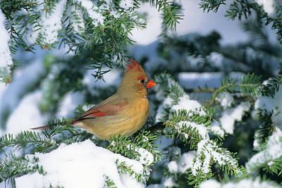Northern Cardinal (cardinalis Cardinalis Poster by Richard and Susan Day
