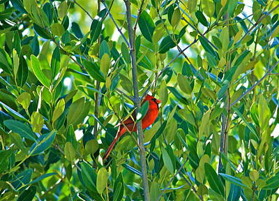 Poster featuring the photograph Northern Cardinal Hiding Among Green Leaves by Cyril Maza