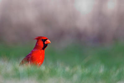 Northern Cardinal In Loup County Poster by Chuck Haney