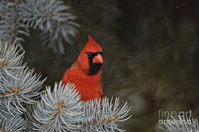 Northern Cardinal In Spruce Tree Poster