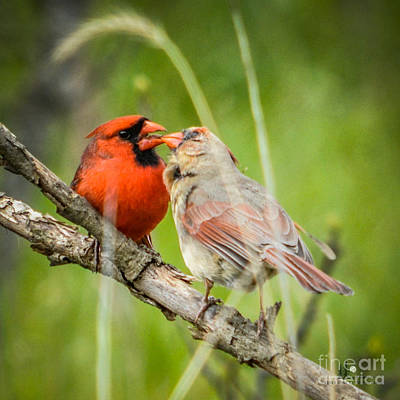 Northern Cardinal Male And Female Poster
