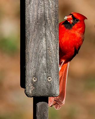 Poster featuring the photograph Northern Cardinal by Robert L Jackson