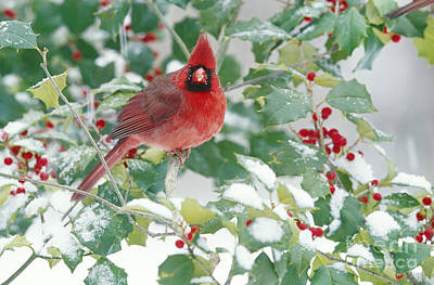 Northern Cardinal Poster by Steve and Dave Maslowski
