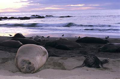 Northern Elephant Seal Cow And Pup At Sunset Poster