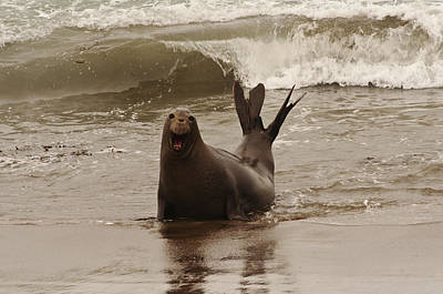 Poster featuring the photograph Northern Elephant Seal by Lee Kirchhevel