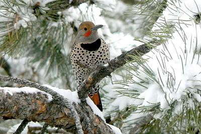 Northern Flicker On Snowy Pine Poster