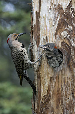 Northern Flicker Parent At Nest Cavity Poster by Michael Quinton