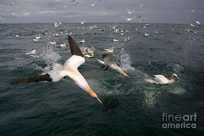 Northern Gannets Fishing Poster by Thomas Hanahoe