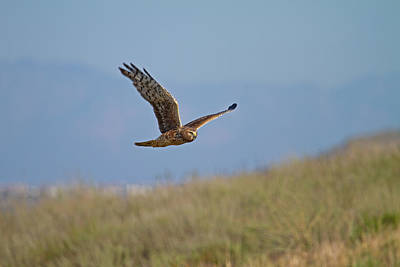 Poster featuring the photograph Northern Harrier In Flight by Duncan Selby